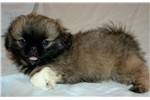 Picture of Most Beautiful Pekingese Male Puppy