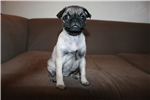 Picture of Gorgeous Female Pug Puppy