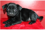 Pug for sale
