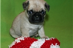 Picture of Super Gorgeous Purebred Pug Puppy!