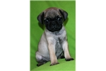 Picture of Cute Pug Male