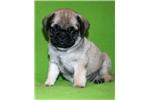 Picture of Cutie Pug Male