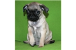 Picture of Cute Pug Girl