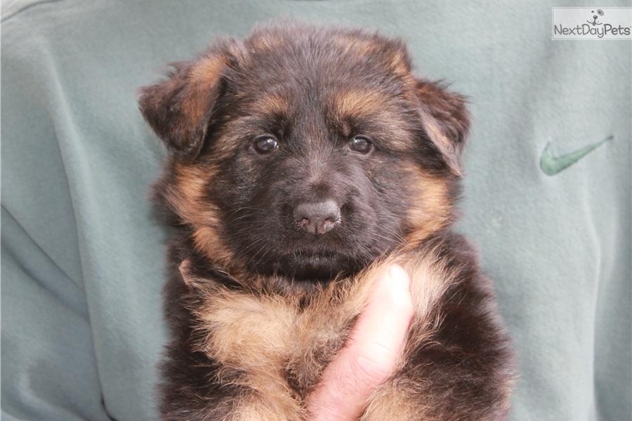 Golden Retriever Puppies For Sale Cleveland Ohio