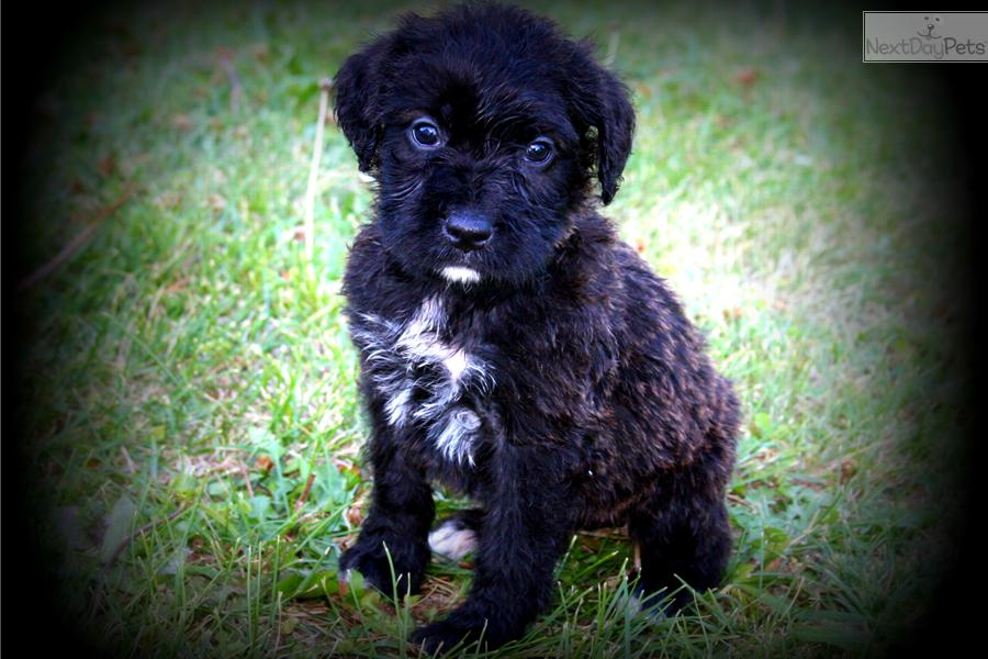 boxerdoodle puppy for sale near omaha council bluffs