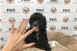 Picture of Maltipoo - Bullet - Male