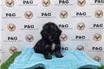 Picture of Maltipoo - Chip - Male