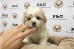 Picture of Maltipoo - Chloe - Female