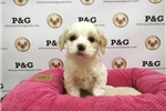 Picture of Maltipoo - Cheese - Female
