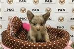 Picture of PomChi - Marble - Male