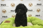 Picture of Poodle - Calvin - Male