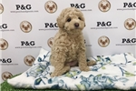 Picture of Poodle - Drake - Male