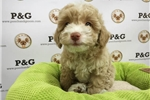 Picture of Poodle - Timothy - Male