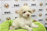 Picture of Poodle - Charmer - Male