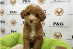 Picture of Poodle - Henney - Male