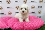 Picture of Poodle - Aloha - Female