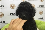 Picture of Poodle - Hobbes - Male