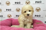 Picture of Toy Poodle - Harriet - Female
