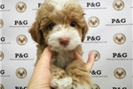 Picture of Poodle - Nathan - Male