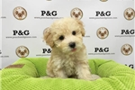 Picture of Toy Poodle - Oliver - Male