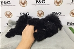 Picture of Toy Poodle - Hershey - Male