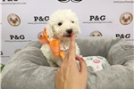 Picture of Westie-Poo - Primrose - Female