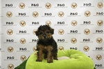 Picture of Yorkiepoo - Macchiato - Male