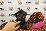 Picture of Yorkshire Terrier - Penne - Male