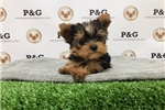Picture of Teacup Yorkshire Terrier - Sparkles - Femalee