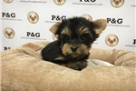 Picture of Yorkshire Terrier - Joy - Female