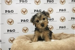 Picture of Yorkshire Terrier - Superman - Male