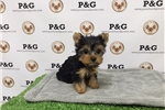 Picture of Teacup Yorkshire Terrier - Marlo - Male