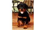 Picture of AKC XXL German Male puppy Phenomenal Head