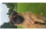 Male pup | Puppy at 12 weeks of age for sale