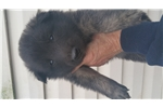 Picture of Tervuren puppy