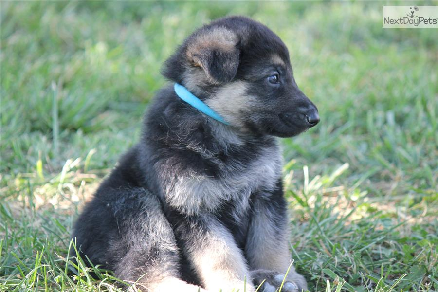 Akc Black And Silver German Shepherds Pictures to pin on Pinterest