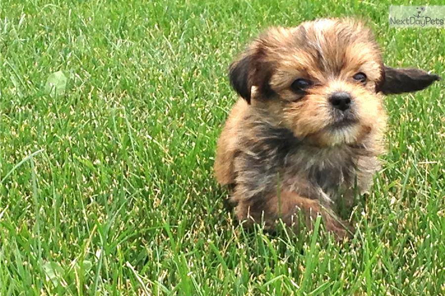 Small Dogs For Sale In Rochester Mn