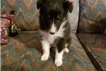 AKC Tri-colored Female Sheltie- Misty | Puppy at 6 weeks of age for sale