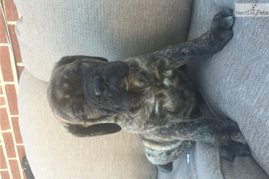 english mastiff puppies for sale no papers Find mastiff puppies for sale by laura advertise your mastiff puppy or puppies for sale free  comments: akc english mastiff puppies for sale.