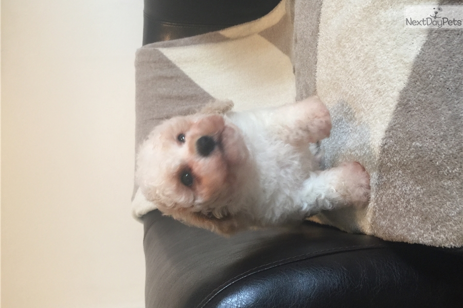 Toy poodle puppies for sale chicago