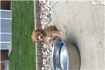 Picture of Cavalier poodle mixed pups~ cavapoo~