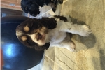 Picture of Cocker spaniel puppies