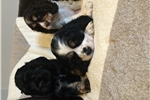 Picture of Cocker spaniel male puppies