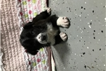 Picture of shepherd border collie mixed puppies