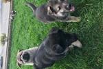 Picture of German shepherd puppies HUGE