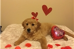 Picture of Golden retriever female puppy registered