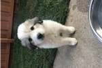 Picture of Great Pyrenees puppy ??