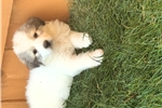 Picture of Great Pyrenees puppy