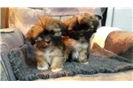 Picture of Lhasa apso male puppies