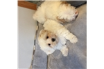Picture of Lhasa paso poodle puppies